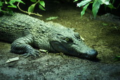Philippine Crododile - Crocodylus mindorensis. A resting Philippine Crododile - Crocodylus mindorensis Royalty Free Stock Photography