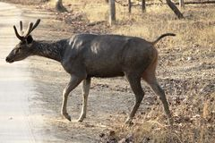 The Philippine deer, called the sambher deer alert and crossing road royalty free stock photography