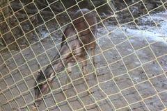 Philippine deer Stock Photo