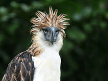 Philippine Eagle Stock Photo