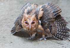 Philippine Eagle-Owl Royalty Free Stock Photos
