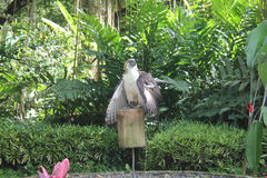 Philippine eagle - Scout Binay. An eagle named after scout master and former vice president, Binay Stock Photos