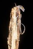 Philippine encorvadura-tocó con la punta del pie el lagarto de la salamandra Imagen de archivo