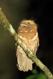 Philippine frogmouth Royalty Free Stock Photography