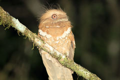 Philippine frogmouth Royalty Free Stock Image