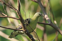 Philippine Green Pigeon Stock Photo