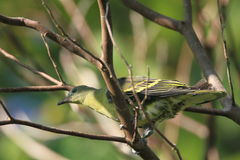 Philippine Green Pigeon Stock Images