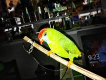 Philippine Hanging Parrot - Colasisi in Adlay, Carrascal, Surigao del Sur Royalty Free Stock Images