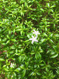 Philippine Jasmine flowers and leaves background.Beautiful national floral Royalty Free Stock Images