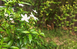 Philippine Jasmine flowers and leaves copy space.Beautiful national floral in garden Royalty Free Stock Photo