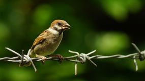 Philippine Maya Bird Eurasian Tree Sparrow or Passer montanus perch on barbed wire. Close up Royalty Free Stock Images