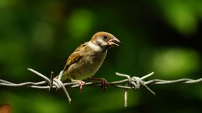Philippine Maya Bird Eurasian Tree Sparrow or Passer montanus perch on barbed wire. Close up Royalty Free Stock Image