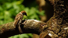 Philippine Maya Bird or Eurasian Tree Sparrow perching on tree branch pecking rice grains. Philippine Maya Bird Eurasian Tree Sparrow or Passer montanus perch on stock image