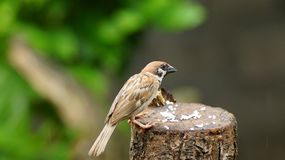 Philippine Maya Bird or Eurasian Tree Sparrow perching on tree branch pecking rice grains. Philippine Maya Bird Eurasian Tree Sparrow or Passer montanus perch on stock photos