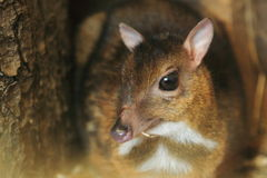 Philippine mouse-deer. The detail of philippine mouse-deer stock images