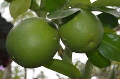 Philippine native Pomelo - scientific name Citrus maxima Royalty Free Stock Photo