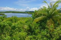 Philippine nature - mangroves. Tropical vegetation with mangroves on the island of Siargao, Philippines Stock Photos