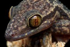 Philippine penchant-a botté le lézard avec la pointe du pied de gecko photographie stock libre de droits
