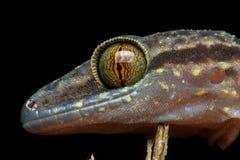 Philippine penchant-a botté le lézard avec la pointe du pied de gecko image stock
