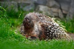 Philippine porcupine, Indonesian porcupine, or Palawan porcupine, Hystrix pumila, animal in the nature habitat. Mammal in grass. A Stock Photo