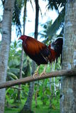 Philippine red Cock on a perch Royalty Free Stock Photo