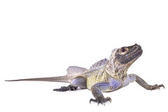 Philippine sailfin lizard, Hydrosaurus pustulatus. The Philippine sailfin lizard, Hydrosaurus pustulatus, is a large, semi aquatic lizard species found in the Royalty Free Stock Images