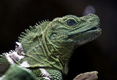Philippine sailfin lizard 1 Royalty Free Stock Photography