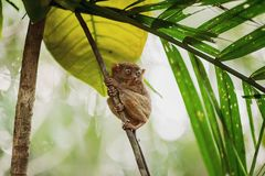 Philippine sarangani tarsier Stock Photos