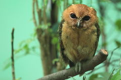Philippine scops owl. Juvenile of Philippine scops owl sitting on the branch Royalty Free Stock Photo