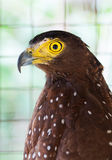 Philippine Serpent Eagle Royalty Free Stock Photos