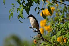 Philippine Shrike Stock Photo