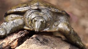 Philippine soft shelled  taxonomic family turtle Trionychidae on rotting wood. Close up stock video footage