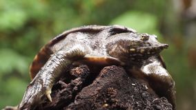 Philippine soft shelled  taxonomic family turtle Trionychidae on rotting wood. Close up stock footage