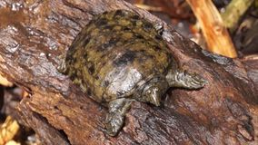 Philippine soft shelled  taxonomic family turtle Trionychidae on rotting wood. Close up stock video