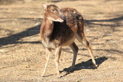 Philippine spotted deer Royalty Free Stock Images
