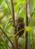 Philippine tarsier Royalty Free Stock Image