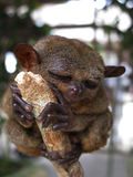 Philippine Tarsier Stock Images
