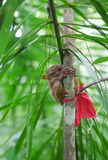 Philippine tarsier on a branch Stock Photos