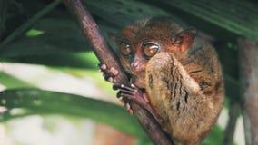 Philippine tarsier from island of bohol, asia