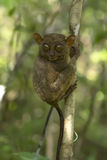 Philippine tarsier Stock Photos