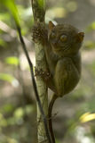 Philippine tarsier Royalty Free Stock Photography