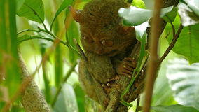 Philippine tarsier Royalty Free Stock Images