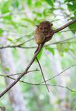 Philippine tarsier in the woods Royalty Free Stock Image