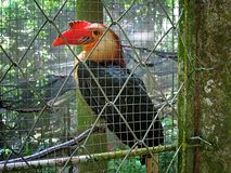 Philippine Toucan Inside Cage Royalty Free Stock Image