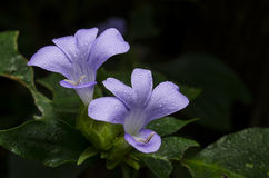 Philippine violet flower Stock Photography