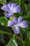 Philippine violet flower Royalty Free Stock Images