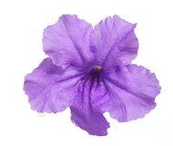 Philippine violet flower Stock Images