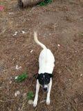 Philippine white and black dog Royalty Free Stock Image