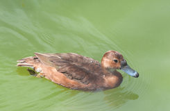 Philippine Wild Duck Stock Photography