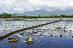Philippinen-Reis-Paddy Lizenzfreie Stockbilder